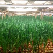 Проект освещения теплицы по выращиванию лука