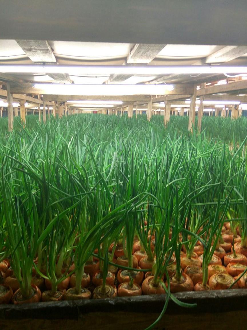 Бизнес по выращиванию зеленого лука 81